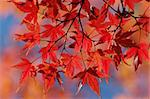 Maple series Stock Photo - Royalty-Free, Artist: felinda                       , Code: 400-06143845