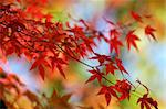 Maple series Stock Photo - Royalty-Free, Artist: felinda                       , Code: 400-06143847