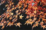 Maple in autumn colors Stock Photo - Royalty-Free, Artist: felinda                       , Code: 400-06143853