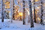 Snow Covered Conifer Tree at Sunrise, Heidelstein, Rhon Mountains, Bavaria, Germany Stock Photo - Premium Royalty-Free, Artist: Raimund Linke, Code: 600-06144760