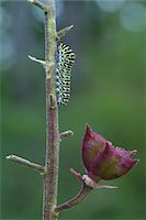 Swallowtail Caterpillar on Dictamnus Stem, Karlstadt, Franconia, Bavaria, Germany Stock Photo - Premium Royalty-Freenull, Code: 600-06144851