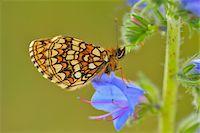 Heath Fritillary on Blueweed Blossom, Karlstadt, Franconia, Bavaria, Germany Stock Photo - Premium Royalty-Freenull, Code: 600-06144853