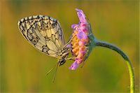 Marbled White Butterfly on Flower, Karlstadt, Franconia, Bavaria, Germany Stock Photo - Premium Royalty-Freenull, Code: 600-06144854