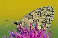 Marbled White Butterfly on Flower, Karlstadt, Franconia, Bavaria, Germany Stock Photo - Premium Royalty-Freenull, Code: 600-06144855