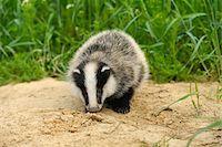 earth no people - Portrait of European Badger, Hesse, Germany Stock Photo - Premium Royalty-Freenull, Code: 600-06144946