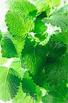 Fresh lemon balm (close-up) Stock Photo - Premium Royalty-Free, Artist: photo division, Code: 659-06153202