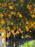 Backyard Lemon Tree Stock Photo - Premium Royalty-Free, Artist: Flowerphotos, Code: 659-06153465