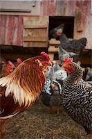 Rooster and Chickens; Hen House Stock Photo - Premium Royalty-Freenull, Code: 659-06153901