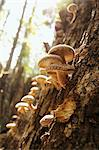 Shiitake Mushrooms Growing on an Oak in the Ozarks of Missouri Stock Photo - Premium Royalty-Free, Artist: Raimund Linke, Code: 659-06154240
