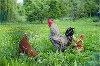 Cock and two hens in grass Stock Photo - Premium Royalty-Freenull, Code: 659-06155347