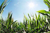 A corn field in the sun Stock Photo - Premium Royalty-Freenull, Code: 659-06155917