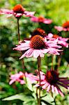 Flowering red echinacea Stock Photo - Premium Royalty-Free, Artist: photo division, Code: 659-06156010