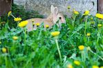 Rabbit hiding in dandelion flowers Stock Photo - Premium Royalty-Free, Artist: Shannon Ross, Code: 649-06165139