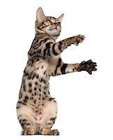 Bengal kitten playing (4 months old) Stock Photo - Premium Royalty-Freenull, Code: 6106-06165435