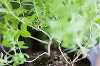 potted plant - Close-up of a basil herbal plant Stock Photo - Premium Royalty-Freenull, Code: 6108-06168405