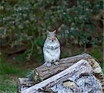 Grey Squirrel sitting upright on haunches on log pile Stock Photo - Royalty-Free, Artist: suerob                        , Code: 400-06172371