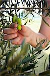 Farmer is harvesting and picking olives on olive farm Stock Photo - Royalty-Free, Artist: mythja                        , Code: 400-06174042