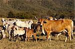 Beef Cattle Cow with Horns and cattle herd with calfs