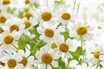 Camomile, Hamburg, Germany Stock Photo - Premium Royalty-Free, Artist: photo division, Code: 600-06180162