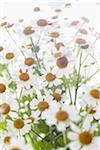 Camomile, Hamburg, Germany Stock Photo - Premium Royalty-Free, Artist: photo division, Code: 600-06180163