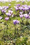 Crocus Flowers, Hamburg, Germany Stock Photo - Premium Royalty-Free, Artist: photo division, Code: 600-06180214