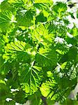 Lemon balm in sunlight Stock Photo - Premium Royalty-Free, Artist: photo division, Code: 659-06185134