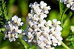 Flowering yarrow (Achillea Millefolium) Stock Photo - Premium Royalty-Free, Artist: Robert Harding Images, Code: 659-06185998