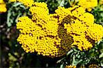Flowering fernleaf yarrow (Achillea Filipendulina) Stock Photo - Premium Royalty-Free, Artist: photo division, Code: 659-06186001