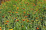 A field of marigolds Stock Photo - Premium Royalty-Free, Artist: Frank Krahmer, Code: 659-06186007