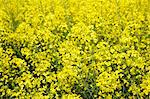 A field of flowering rape (macro zoom) Stock Photo - Premium Royalty-Free, Artist: photo division, Code: 659-06186154