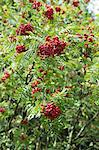 Rowan berries on the tree Stock Photo - Premium Royalty-Free, Artist: CulturaRM, Code: 659-06187276