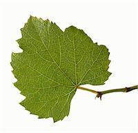 Real grape leaf Stock Photo - Premium Royalty-Freenull, Code: 659-06188103