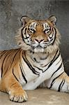 Portrait Of Tiger Stock Photo - Premium Royalty-Free, Artist: Minden Pictures, Code: 622-06191187
