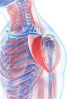 Shoulder muscles, computer artwork. Stock Photo - Premium Royalty-Freenull, Code: 679-06198941