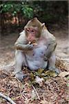 Macaque Monkey Eating Cake Appetizer, Siem Reap, Angkor, Cambodia Stock Photo - Premium Rights-Managed, Artist: oliv, Code: 700-06199243