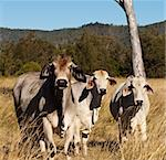 Australian meat industry brahman cattle in pasture Stock Photo - Royalty-Free, Artist: sherjaca                      , Code: 400-06201383