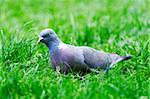 A pigeon in the grass Stock Photo - Royalty-Free, Artist: Dutourdumonde                 , Code: 400-06201611