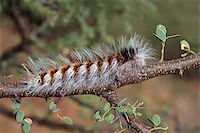 Hairy caterpillar sitting on a branch   Stock Photo - Royalty-Freenull, Code: 400-06201889