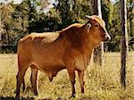 Australian beef cattle young bull red brahman Stock Photo - Royalty-Free, Artist: sherjaca                      , Code: 400-06201963