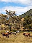 Rural scene with beef cattle cows and gum trees