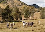 Brahman beef cattle in Australian rural scene