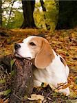 Tricolour English Beagle resting on the tree root in the forest in autumn Stock Photo - Royalty-Free, Artist: Virgonira                     , Code: 400-06202008