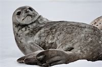 Seal rests on the snowy slopes of the Antarctic Stock Photo - Royalty-Freenull, Code: 400-06202878