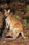 Female Agile Wallaby (Macropus agilis) with baby in pouch, Kakadu National Park, Northern territory, Australia   Stock Photo - Royalty-Free, Artist: EcoShow                       , Code: 400-06207205