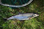 A wild salmon from the Alps Stock Photo - Premium Royalty-Free, Artist: Robert Harding Images, Code: 659-06306704
