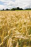 Wheat field Stock Photo - Premium Royalty-Free, Artist: Aurora Photos, Code: 659-06306926