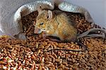 A live mouse with wheat Stock Photo - Premium Royalty-Free, Artist: Cultura RM, Code: 659-06307394