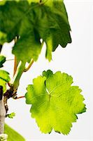 A spring vine with green leaves Stock Photo - Premium Royalty-Freenull, Code: 659-06307449