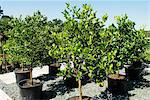 Citrus trees in a garden centre Stock Photo - Premium Royalty-Free, Artist: R. Ian Lloyd, Code: 659-06307895