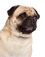 pvg - Close-up of a Pug (3 years old) Stock Photo - Premium Royalty-Freenull, Code: 6106-06308514